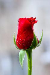 red-rose-1380375.jpg
