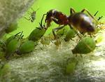 ant_milking_1_1345400634_resize.jpg